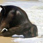 Fun and Cuteness of Baby Elephant on Beach.