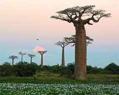 Baobabs, MadagascarBotswana landscape Baobab Tree / Tree of Life 🔹🔹More Pins Like This At FOSTERGINGER @ Pinterest  🔹🔹