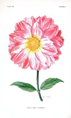 Botanical - Flower - Dahlia - Pink and white Botanical - Flower - Dahlia - Pink and white  Addisonia : colored illustrations and popular descriptions of plants (1921). Scan of 2 d images in the public domain believed to be free to use without restriction in the US.