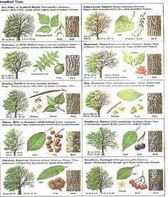 Identify trees with pictures - I like that this includes several views, including the bark of trees, leaves leaf chart Trees And Shrubs, Trees To Plant, Conifer Trees, Garden Trees, Garden Plants, Horticulture, Tree Study, Tree Identification, Outdoor Learning