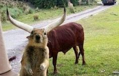 squirrel in front of a gnu - Animal photobombs