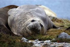 Chile. Austral Patagonia. Elephant Seal. During Australis Cape Horn Navigation