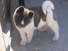 Japanese Akita Puppies for Sale | akita puppies for sale £ 700 posted 1 year ago for sale dogs akita ...