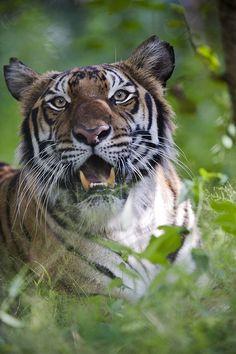 ☀Hybrid Tiger by Arddu