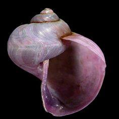 Janthinidae - Janthina umbilicata