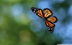 flying butterfly wallpapers 1920 1200