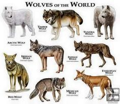 Image result for types of wolves chart