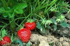 Chaque plante a son ennemi public numéro un. Pour le vaincre sans utiliser de pesticides, faites confiance aux remèdes naturels des jardiniers. Sans danger ni pour la nature, ni pour vous. Pourquoi s'en priver ? L'ail : Son ennemi est la graisse. On la reconnait à la pourriture des caïeux et aux…