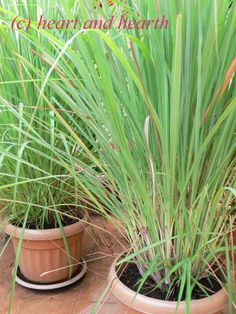 for the back yard- plant lemon grass for privacy and to keep the mosquitoes away--you can also cook with it and make Lemongrass Tea