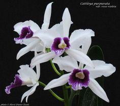 Cattleya purpurata var. roxo violeta