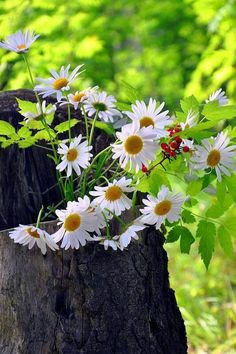 Life is beautiful! Sunflowers And Daisies, Daisy Flowers, Pastel Flowers, Daisy Love, Daisy Daisy, Wonders Of The World, Mother Nature, Beautiful Flowers, Dandelion