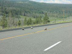 rodina mývalů - a family of badgers - Grand Teton NP - USA - 2014