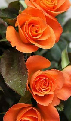 Beautiful Rose Flowers, Exotic Flowers, Amazing Flowers, Beautiful Gardens, Wild Flowers, Rose Images, Rose Pictures, Flower Images, Flower Photos