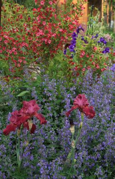 Iris, nepeta walkers low and red weigela .Iris and their companions by gottagarden via GardenWeb -nice color contrast Plant Design, Garden Design, Bearded Iris, Companion Planting, Love Flowers, Yard Art, Horticulture, Garden Plants, Flower Art