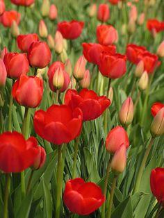 Tulips, Egirdir, Turkey Copyright: Jan Kurzan