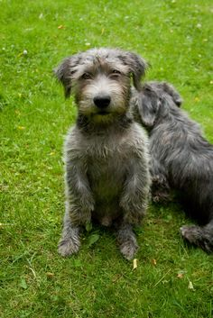 Glen of Imaal Terrier Beautiful Dogs, Animals Beautiful, Cute Animals, Pet Dogs, Dog Cat, Pets, Doggies, Terrier Breeds, Terriers