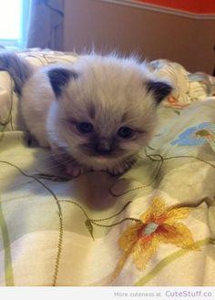munchkin-ragdoll-kitten