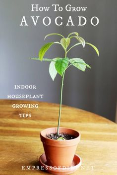 to Grow an Avocado Tree How to grow an avocado plant indoors as a houseplant. See these top tips for successful growing.How to grow an avocado plant indoors as a houseplant. See these top tips for successful growing. Grow Avocado From Pit, Avocado Plant From Seed, Growing An Avocado Tree, Avocado Tree Care, Indoor Avocado Tree, Growing Tomatoes Indoors, Growing Tomatoes From Seed, Growing Avocado Indoors, Grow Tomatoes