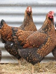 Golden laced beauties....