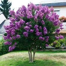 Image result for purple crape myrtle