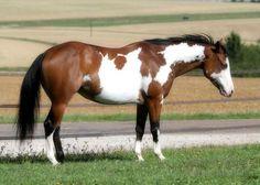 Gorgeous bay paint horse