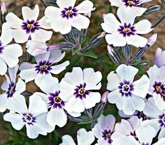 "Phlox subulata North Hills - White Flower Farm  Common Name: Moss Phlox  Hardiness Zone: 3-8 S / 3-8 W  Height: 4-6""  Deer Resistant: Yes  Exposure: Full Sun  Blooms In: April-May  Spacing: 12""  Ships as: 3"" Plastic Pot - 25.8 cu. in."