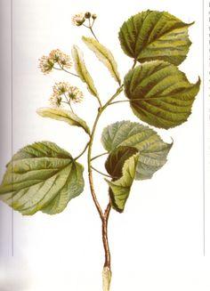 basswood/linden blossoms | Linden Blossom