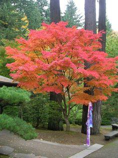 Portland Japanese Garden  Japanese Maple with Fish Kite