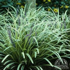 1000 images about wernick landscape on pinterest shades for Variegated grass with purple flower