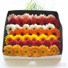 Gerber daisies. In a perfect world, they would be everywhere in my house.