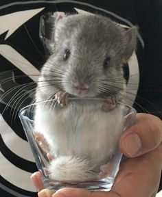 I see your baby Owlet and raise you a baby Chinchilla Cute Baby Animals, Animals And Pets, Funny Animals, Chinchillas, Chinchilla Baby, Exotic Pets, My Animal, Guinea Pigs, Animals Beautiful