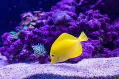 A yellow fish swimming at the bottom of the ocean near purple coral reefs. Coral Reef Pictures, Tang Fish, Oscar Fish, Photos Of Fish, Yellow Fish, Underwater Pictures, Fish Wallpaper, Fish Care, Close Up Photography