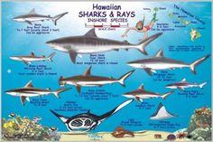 Hawaiian Sharks and Rays Offshore and Inshore Species by Frankos Maps Ltd. Types Of Sharks, Species Of Sharks, Map Of Hawaii, Aloha Hawaii, Shark Painting, Reef Shark, Underwater Life, Shark Week, Hawaiian Islands