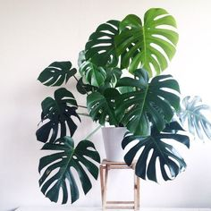 Indoor Gardening Monstera delisiosa Philodendron More - We're talking lean, green and serene. Monstera Deliciosa, Philodendron Monstera, Monstera Leaves, Monstera Obliqua, Calathea Orbifolia, Plantas Indoor, Decoration Plante, Best Indoor Plants, Indoor Plants Low Light