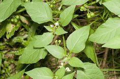 Solanum americanum, American Nightshade leaves and flowers