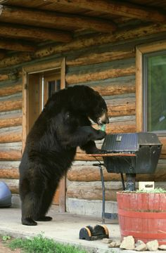 sometimes it happens ;) quick-garden.co.uk wonderful real life surreal wilderness wildlife photo , well they did tell burt to come to the bbq and help himself ! is that salmon en croute done yet mr. bear