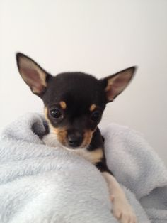 Smooth coat chihuahua. Tri coloured chihuahua. Cute puppy. Cute chihuahua. Chihuahuas. Chihuahua puppies. Adorable puppy.