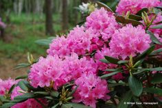 Hirsutum.info -- Rhododendron Hybrids/cultivars: 'Haaga'