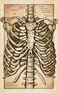 "fuckyeahmedicaldiagrams: "" Anatomy of the Thorax (Flash Card) by DeadWilder. Anatomy Sketches, Anatomy Drawing, Art Drawings Sketches, Medical Drawings, Medical Art, Skeleton Drawings, Skeleton Art, Anatomy Bones, Skeleton Anatomy"