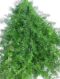 Asparagus densiflorus 'Sprengeri' - Sprenger Asparagus (2)