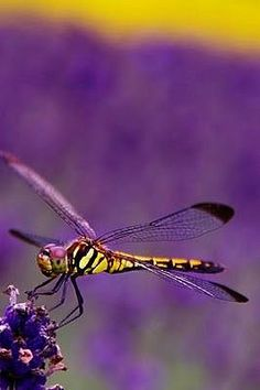 dragon-fly~✿ڿڰۣ  Purple and Yellow