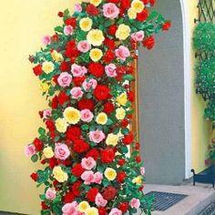 Super ofertă! Trandafiri urcători Tricolor, set de 3 soiuri -Top sales