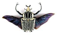 The Goliath Beetle Beetle Insect, Beetle Bug, Insect Art, Cool Insects, Bugs And Insects, Goliath Beetle, Cool Bugs, Beautiful Bugs, Art Plastique