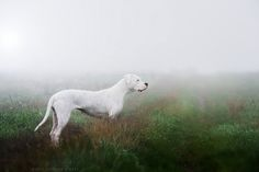 Simply Canine : Untitledby Katarina Drezga// Dogo Argentino