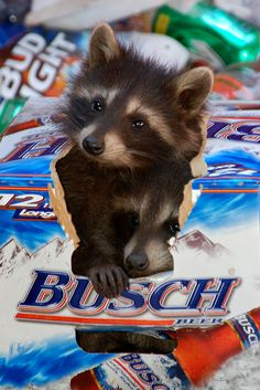 Mischievous Raccoons pups