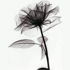 Resultado de imagem para flor radiografia