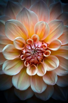 Dahlia - by Roswitha Schacht