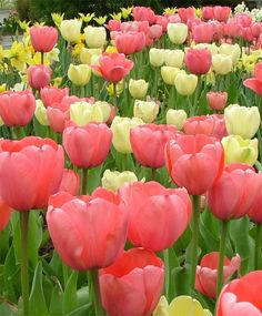 Tulip Pink Impression - Giant Darwin Hybrid - Tulips - Flower Bulbs Index
