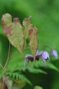 Epimedium sutchuenense (Fairy Wings)