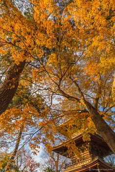 The end of Autumn - Pinned by Mak Khalaf A sunny day I got a nice moment and took a picture with a collaboration of soft light and brilliant yellow leaves. Fine Art autumnbeautifulbluecolorfallforestgreenleafleaveslightskytrees by KazuhiroTerasawa
